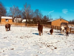 Quinn (center) with some of his new herd mates at Achaius Ranch